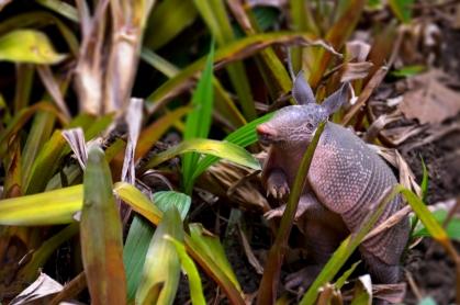De los que normalmente no se ven guapos, les dejo este armadillo que tome en el Jardín botánico Lankaster