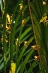 Miles de ranas Agalychnis spurrelli se juntan para una explosión reproductiva