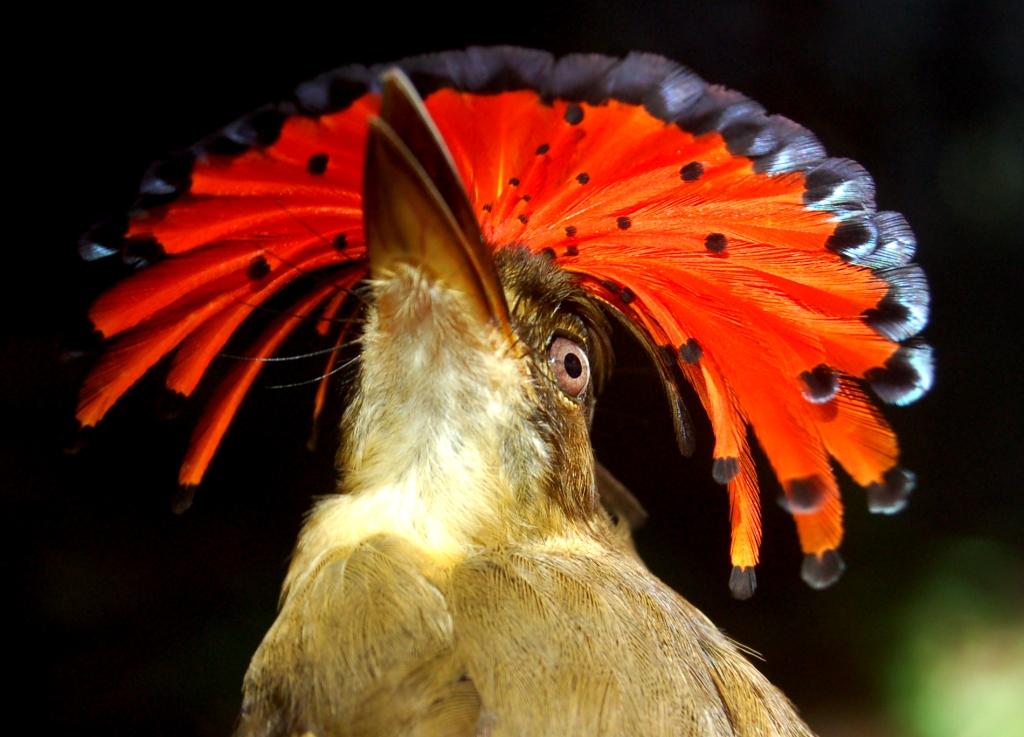 Onychorhynchus coronatus