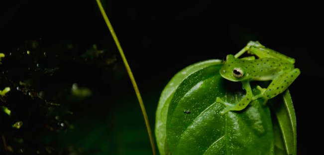 An emarald glass frog (Espadarana prosoblepon), this especies is easily recognizable by the spine in the shoulder, can you see it in the picture?