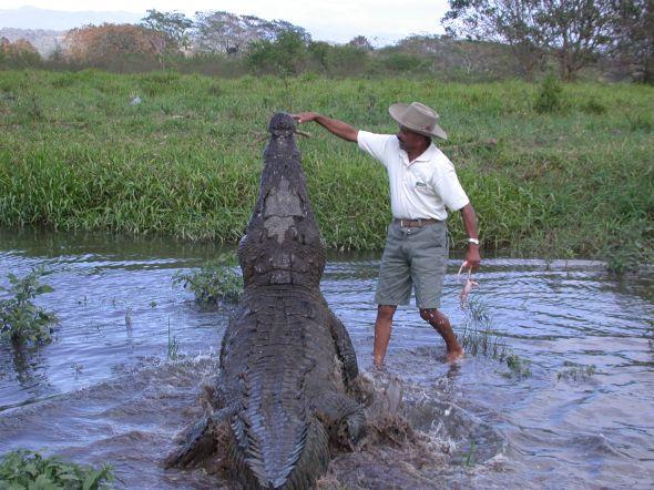Cocodrilo en el río Tarcoles siendo alimentado por una persona de manera muy riesgosa