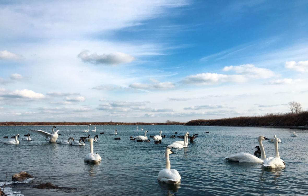 Trumpeter Swan - Cisne
