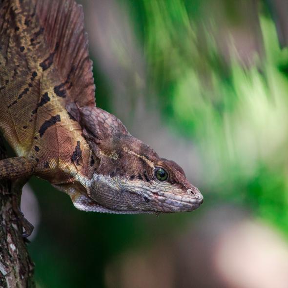 A brown lizard with a crest on the back - lagartija cafe con crest en la espalda como una vela