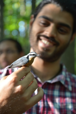 Biologist holds a red-breasted nuthatch in his hands, holding both legs of the birds with his index and thumb.