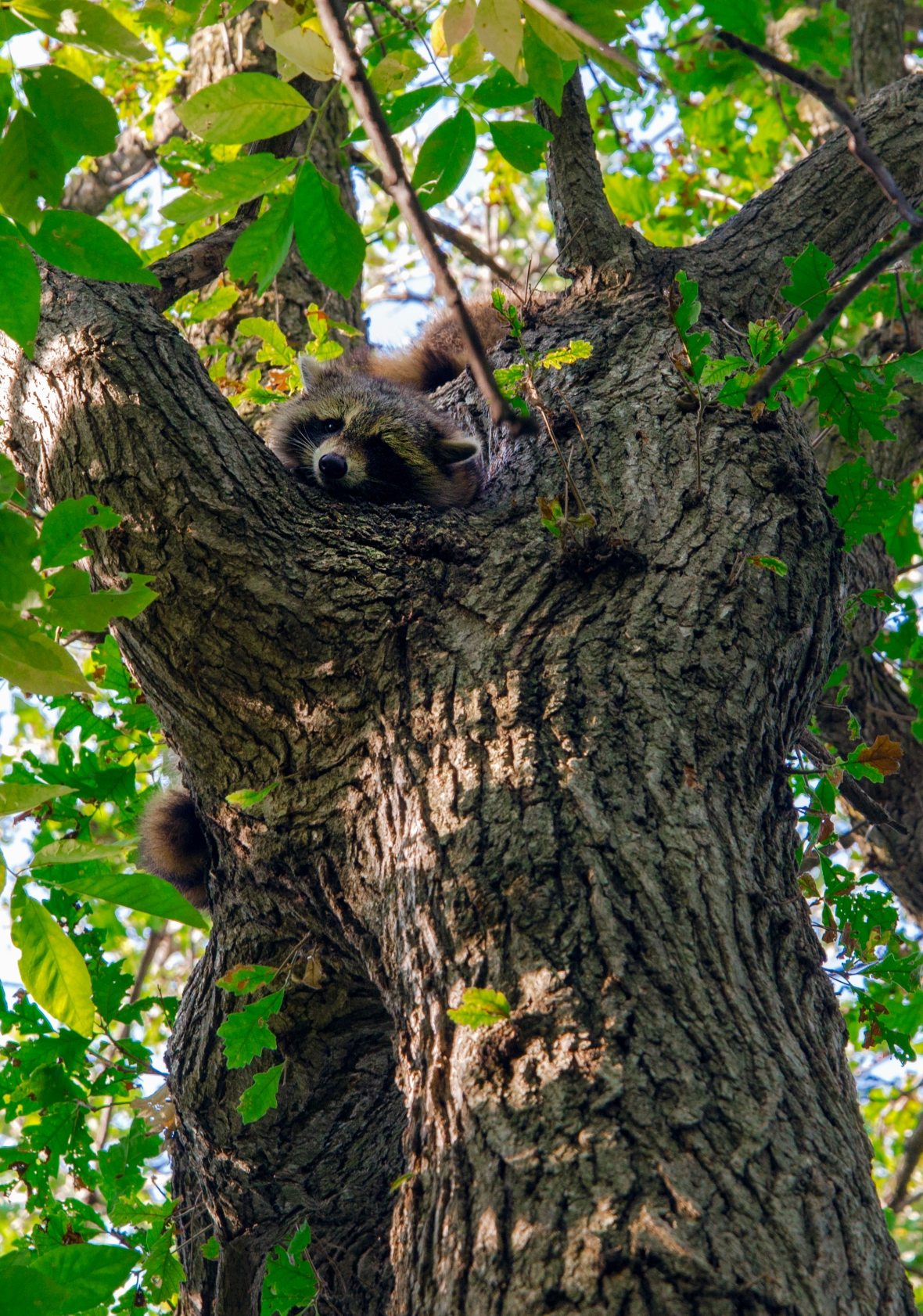 Raccoon sleeps on top of a tree.
