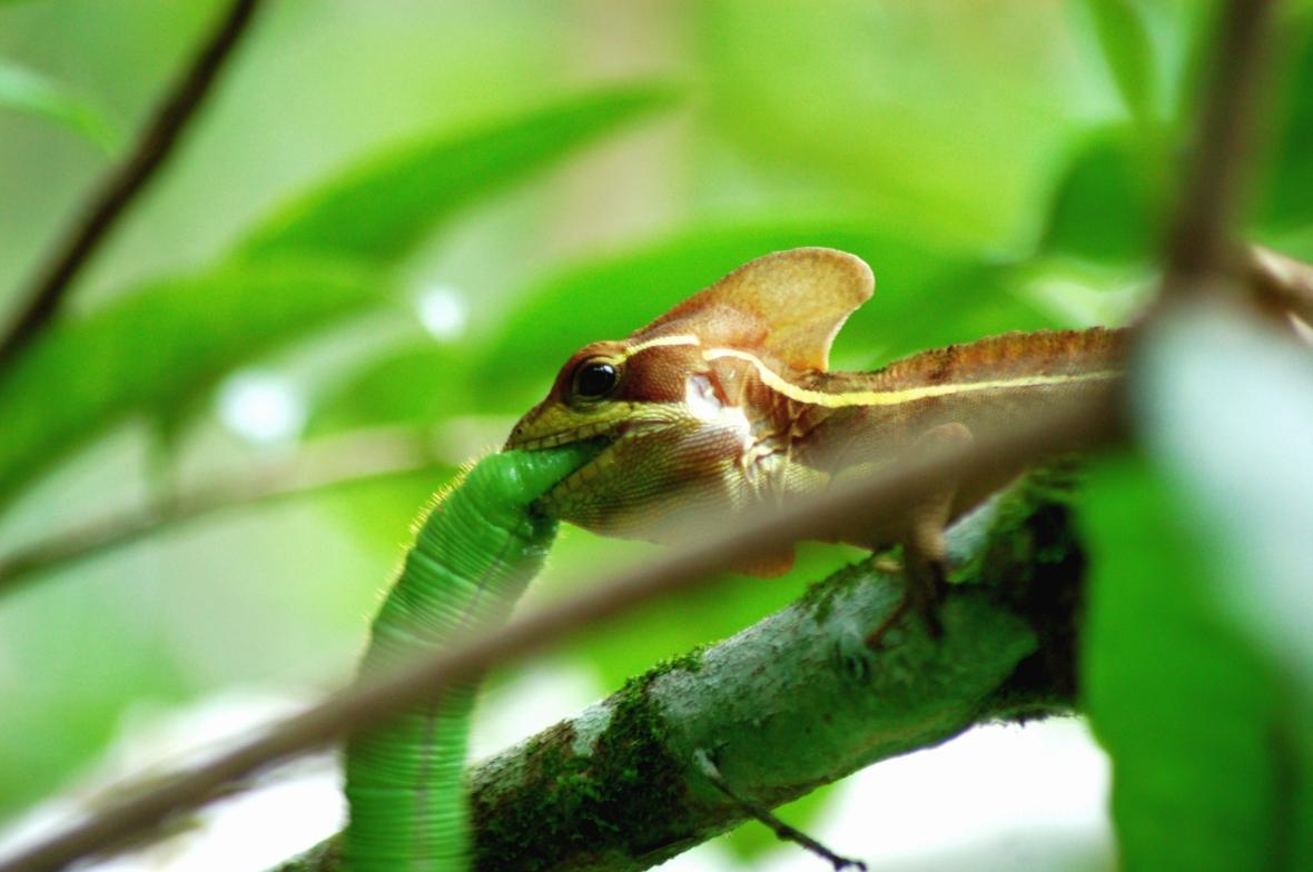 Lagartija marrón se come un gusano verde limón casi de su mismo tamaño