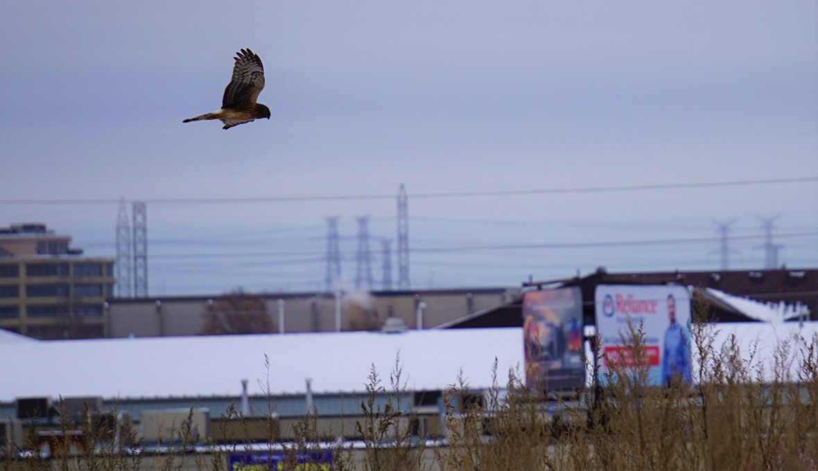 A hawk flies in the middle of the city, billboards and electricity lines are seen on the background
