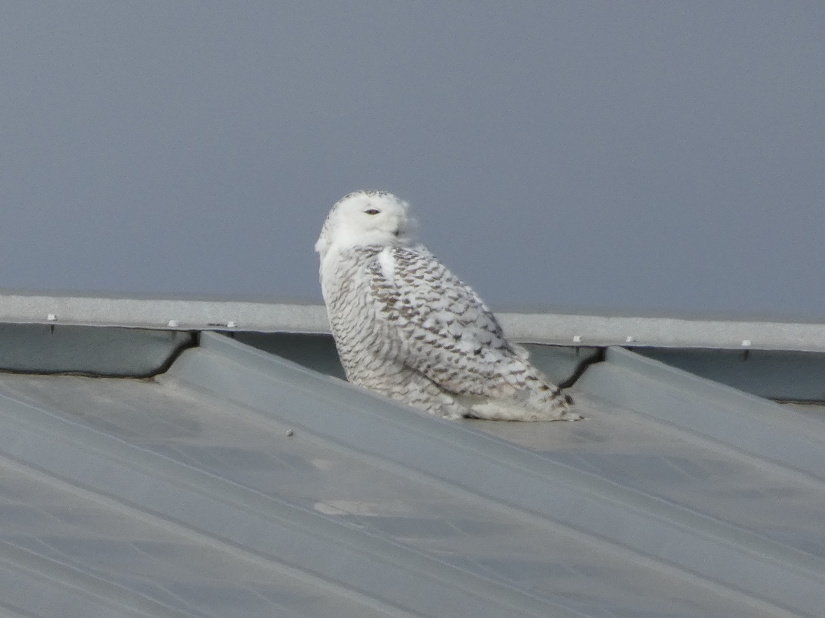 A corrugated metal rooftop, silver in color, with a snowy owl female sitting on top of it. The owl is white with black bars and it is looking to the right.