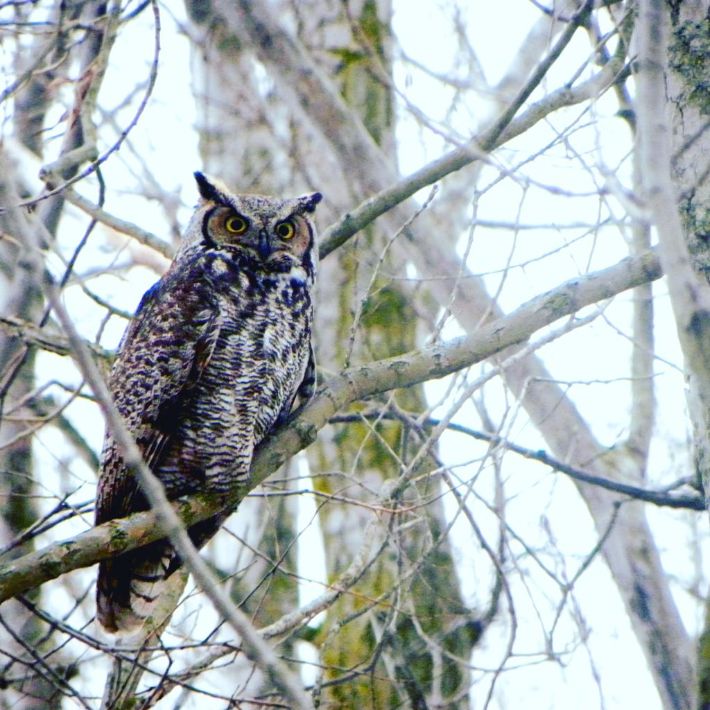 Grear Horned Owl (Bubo virginianus)