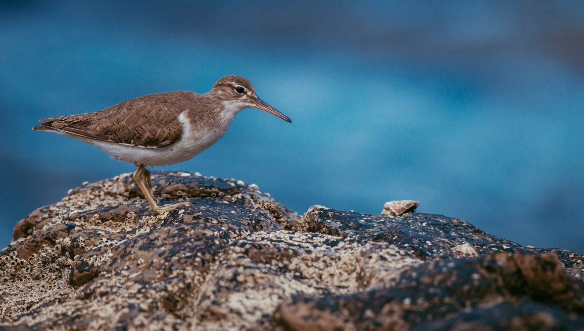 Spotted Sandpiper - Actitis macularis