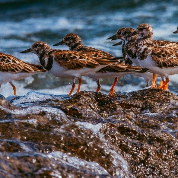 Ocho aves cafés con patas tojas y vientre blanco se posan sobre una roca en el mar, y reciben una ola.