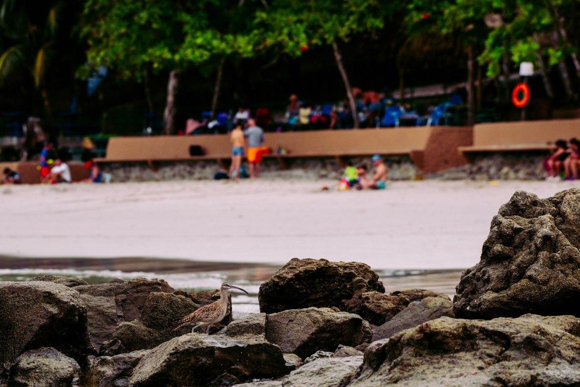 Ave en rocas con una playa y turistas de fondo. El ave es gris con café y un pico largo, delgado y curvo.