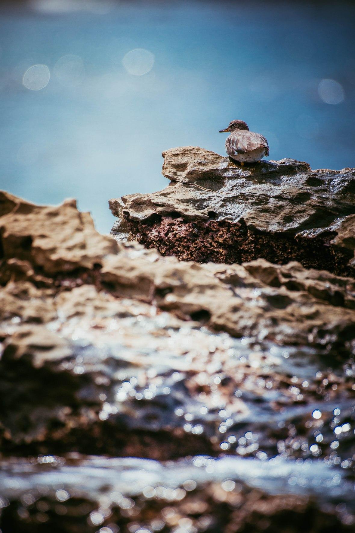 Un ave redondita y con un pico corto, descansa en medio de una piedra en un arrecife rocoso junto al mar.